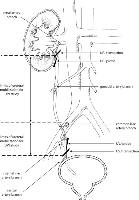 The Effects Of Ureteral Mobilization And Transection On Ureteral Oxygenation